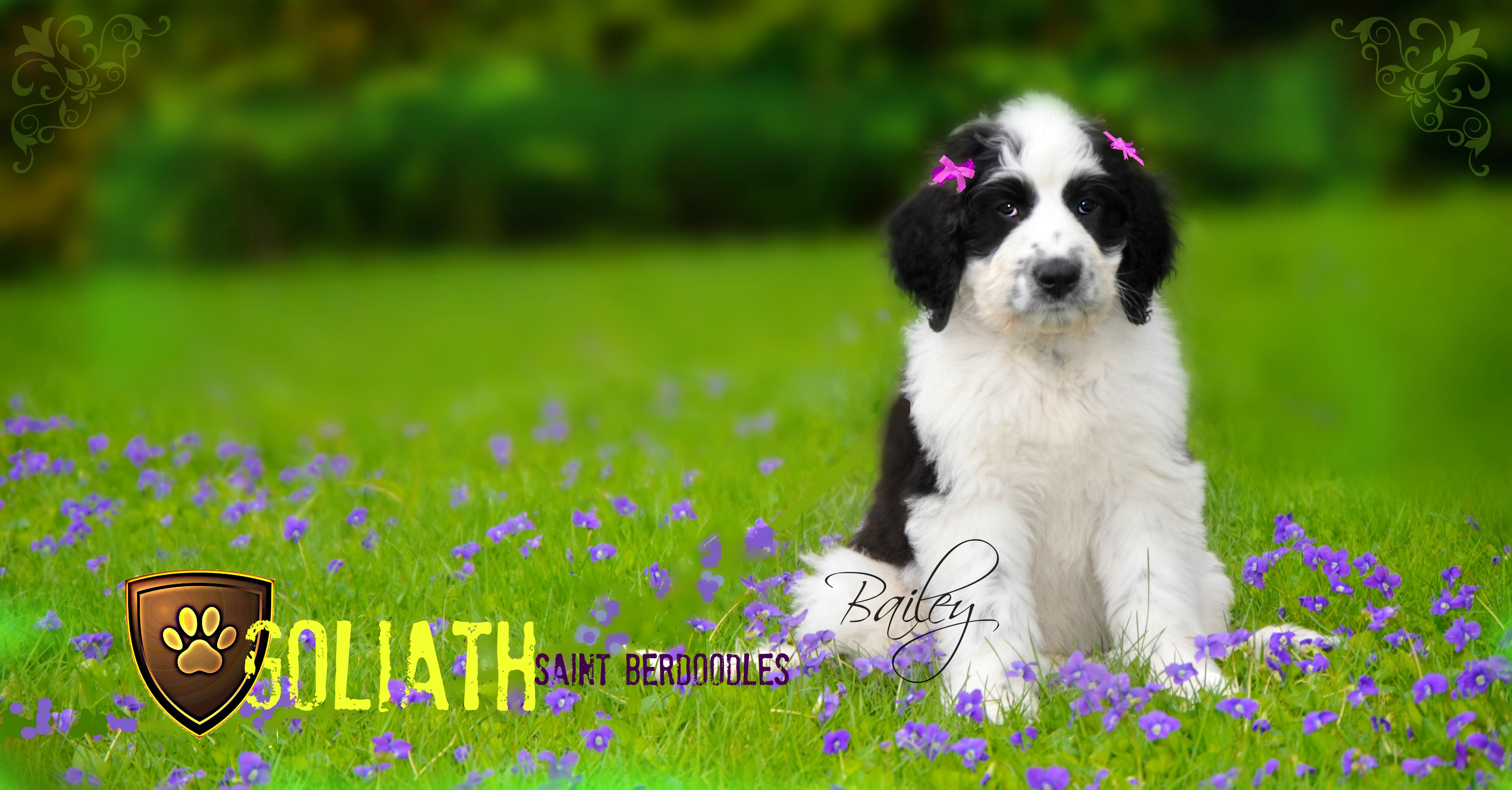 Goliath Saint Berdoodle sitting in a field of flowers